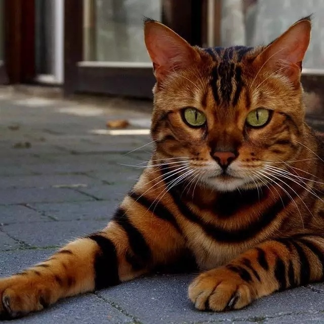 颜即正义!孟加拉猫当然是猫界之王!