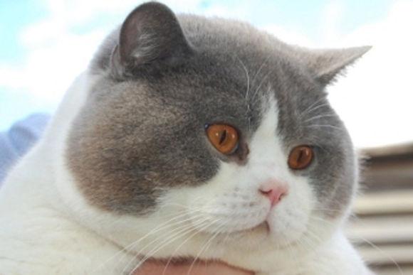 英国短毛--绅士的化身 - 市场活动 - 猫窝咖啡加盟